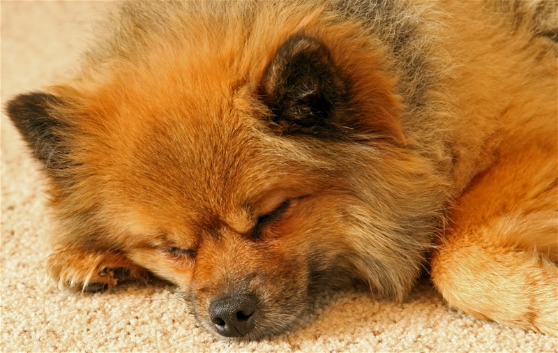 how to get rid of dry dog urine in carpet